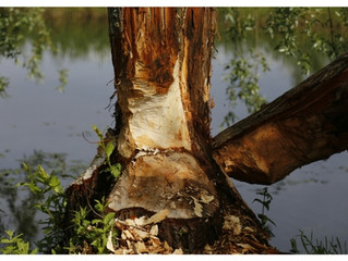 Are Beavers Damming Up Your Property?