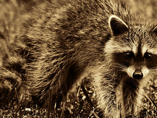 Rapid Raccoon: What You Need To Know