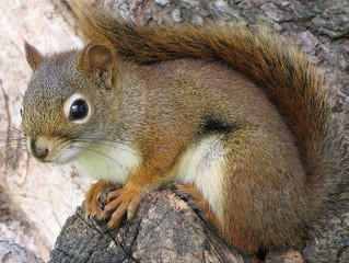 5 Signs Squirrels are in your Attic