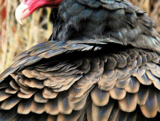 Ugly Birds Cleans Environment- Facts About Turkey Vultures