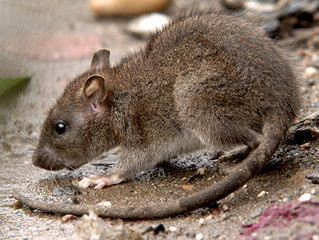 Rodents Can Affect Childhood Asthma