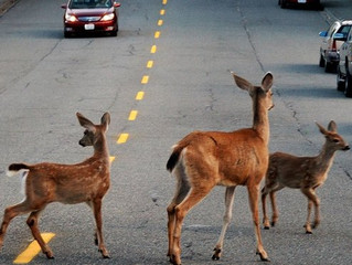 Deer-Vehicle Collisions