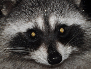 Raccoons Are On The Loose