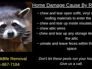 Home Damage Caused By Raccoons