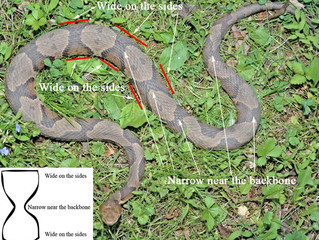 Copperhead vs Black Snakes