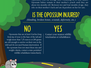 What Good Is An Opossum?