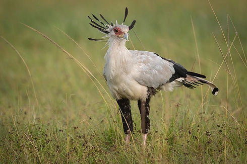 secretary-bird-standing-in-grass-on-sava