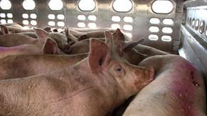 Stoppt Transporte zur Tierquälerei