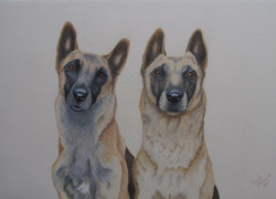 Mother & Daughter Malinois