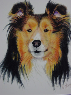 Shetland Sheepdog #1