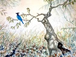 Stellar Jay in Tree