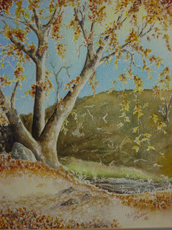 Sycamore in Fall