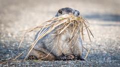 Hoary marmot.jpg