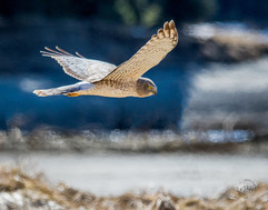 Northern Harrier Hawk.jpg