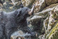 Black bear fishing.jpg