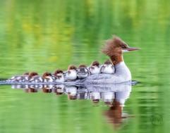 Common Merganser and ducklings.jpg