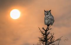 Great Horned Owl at sunrise.jpg