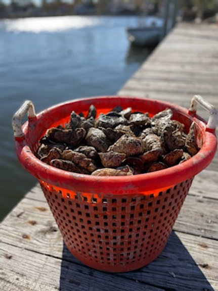 Colonial Oysters: One Bushel