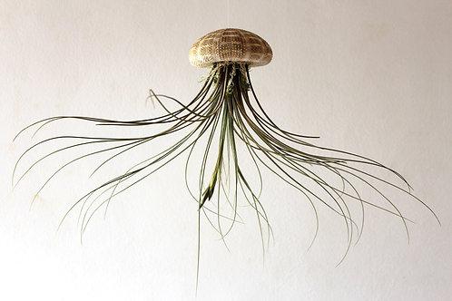 Medusa Juncea