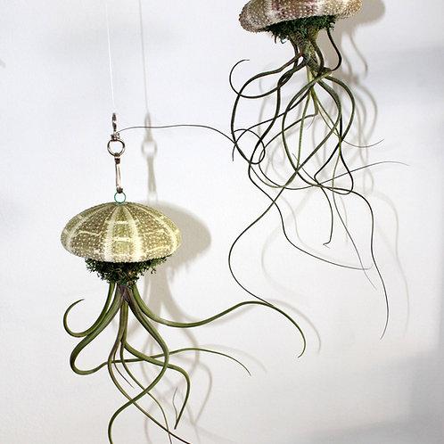 Medusa Baileyi