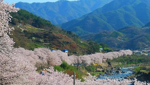 Tagytravelkorea.com-Boseong Green Tea Field