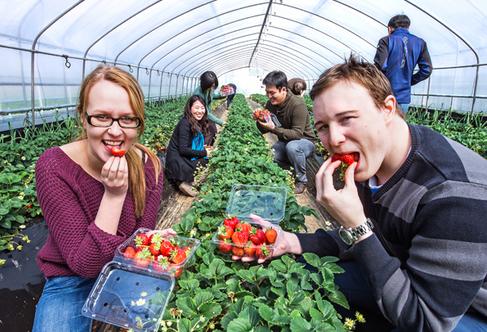South Korea strawberry farm