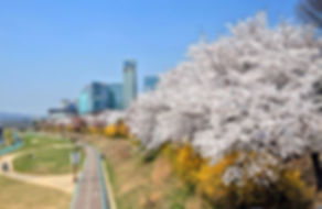 Korea private tour-Tagytravelkorea, Cherry blossom Tour-Yeouido Island