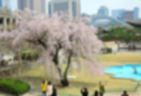 Korea private tour-Tagytravelkorea, Cherry blossom Tour, Deoksugung Palace