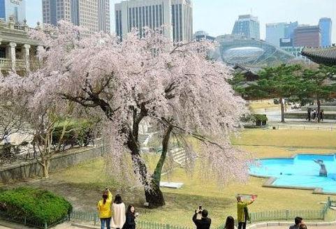 Korea private tour-Tagytravelkorea, Cherry blossom Tour, Deoksugung Palace