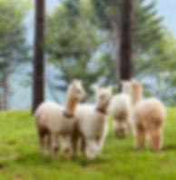 Kids Friendly Tour-Alpaca World