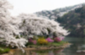 Korea private tour-Tagytravelkorea, Cherry blossom Tour, Seoul Grand Park(Seoul Land)