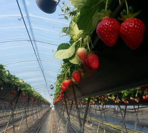 Korea private tour-Tagytravelkorea, Strawberry picking