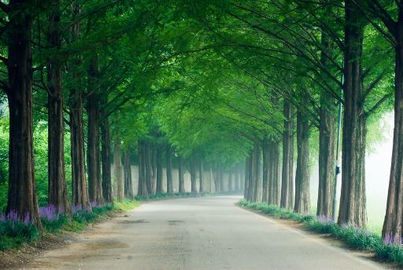 Korea private tour-Tagytravelkorea,Metasequoia-lined Road
