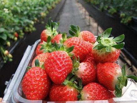 Korea private tour-Tagytravelkorea, Strawberry picking at the farm