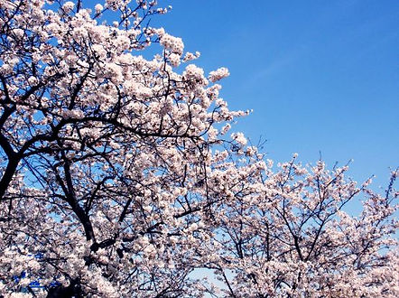 Korea private tour-Tagytravelkorea, Cherry blossom Tour-Yeouido Island