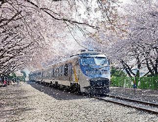 Jinhae Cherry Blossom Tour- Seoul City Tour