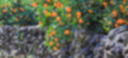 Tangerine picking Tour-Jeju Tour