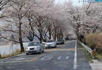 Hwagae Market, Cherry blossom festival