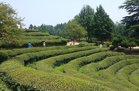 Jeonlla province tour, Boseong Green Tea field