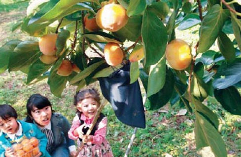 2Days Autumn Leaves Tour from Seoul-Persimmon Picking experience