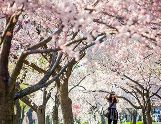 Seoul Cherry Blossome Tour-Yeouido street