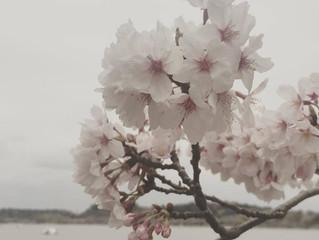 桜 *SAKURA