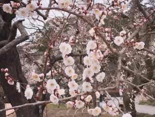 水戸 偕楽園は梅の香りに包まれています。