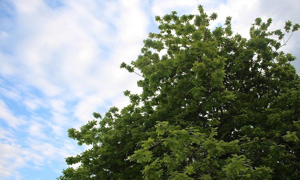 Oak%2520tree(small)_edited_edited.jpg