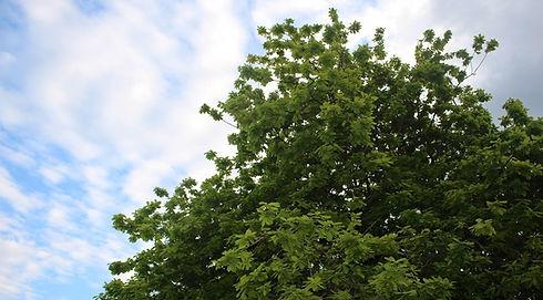 Oak%20tree(small)_edited.jpg
