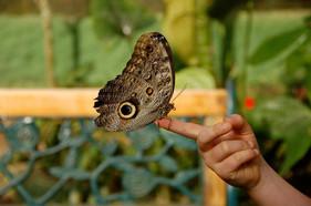Papillon d'Equateur