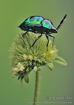 Shield Bug (Calliphara sp.)