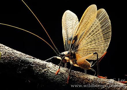 Raspy Cricket (family Gryllacrididae).