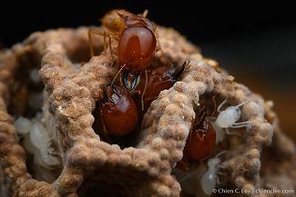 Termites (Macrotermes gilvus).jpg