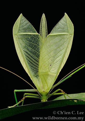 Leaf Katydid (family Tettigoniidae)